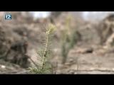 В Омском районе чиновники и волонтёры засадили ёлками 3 га