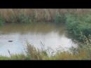 Утки Муринский ручей