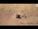 Тигр атаковал медведицу
