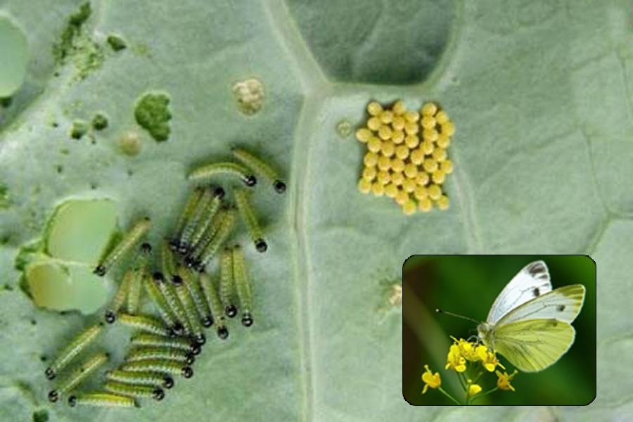 Гусеницы бабочки-капустницы