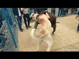 Bully kutta VS kangal