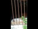 удомля с тигром