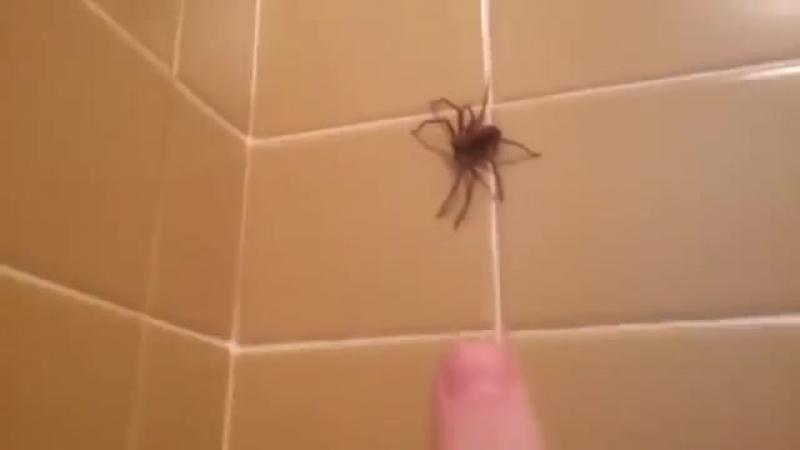 Паук в ванной mp4
