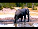 Слон страдал от жажды. Дождь чуть-чуть 'опоздал' к приходу слонов Серия 02 Фаталист. 02.02.2018
