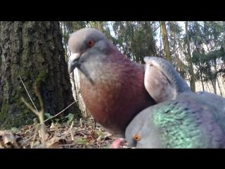 Жадные голуби