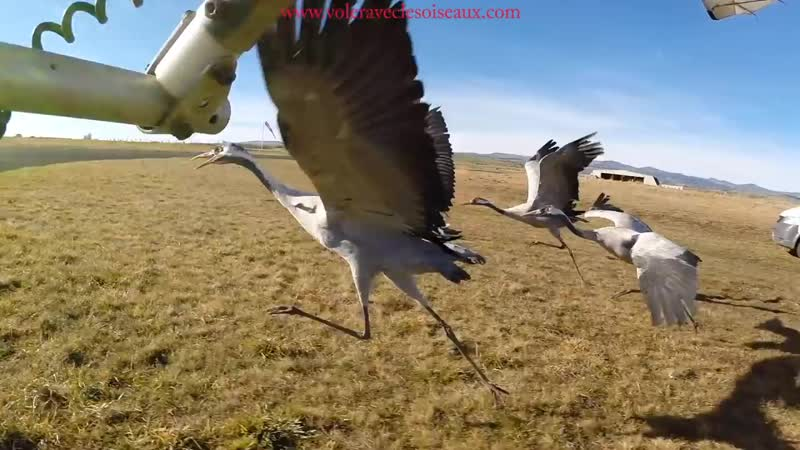 Amazing fligts with birds on board a microlight. Christian Moullec avec ses oiseaux.mp4