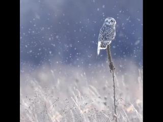 Болотная сова / Short-eared owl (лат. Asio flammeus)