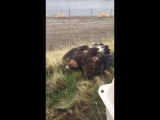Wilder the eagle is released back into the wild at Tejon Ranch
