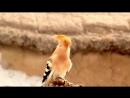Пение птиц в природе.Удод