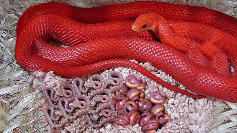KEREN!! Piton Hijau Melahirkan Bayi Berwarna Merah || Reproduksi Reptil