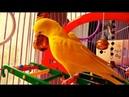 Чучи попугайчик волнистый есть крекер новый траходром в клетке 15 08 2018