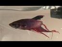 Женщина покупает умирающую рыбку, через пару недель её невозможно узнать