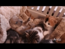 Кошка, котята и щенок – самая необычная семья! Кошка Гвен выкормила и вырастила щенка чихуахуа, который остался без мамы!