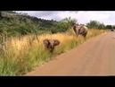 Слонёнок учится атаковать машину