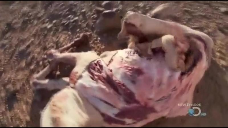 Беар Гриллс в домике из мертвячины Верблюда