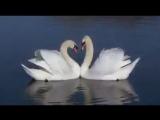 Swan fidelity