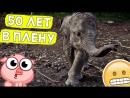 Слона морили голодом 50 лет!