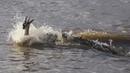 Crocodiles Ambush Gazelles During Great Migration safariLIVE