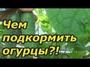 ОЧЕНЬ важная подкормка огурцов в плодоношении Внимательно читайте описание к подкормкам