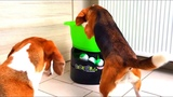 Funny Dogs Playing with GoDogGo G4 Fetch Machine Cute Beagle Louie