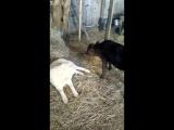 теленок и шаман