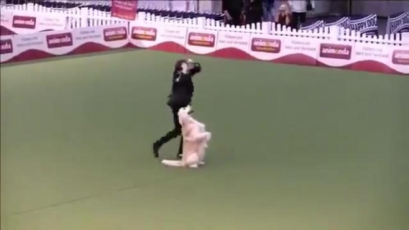 Выступление Ильи Волкова и голден ретривера Лойда на чемпионате мира по танцам с собаками в Лейпциге