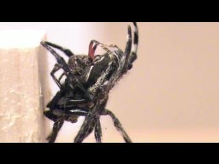 Oral sexual encounters in darwins bark spider