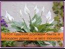 Этот цветок должен быть в каждом доме и вот почему Спатифиллум