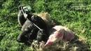 Tug Of War Between Gorilla Brothers On Halloween