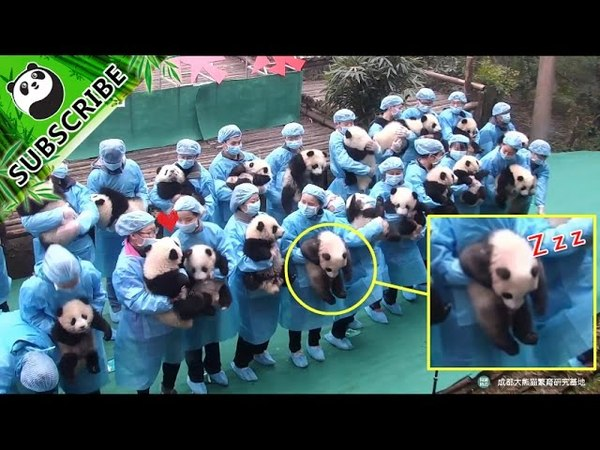 How hard is it to take a group photo for 23 pandas?