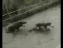 4 бойцовых против кабана