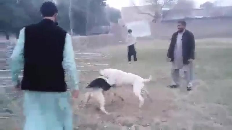 Гуль донг VS овчарка