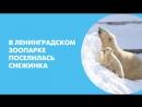 В Ленинградском зоопарке поселилась медведица Снежинка