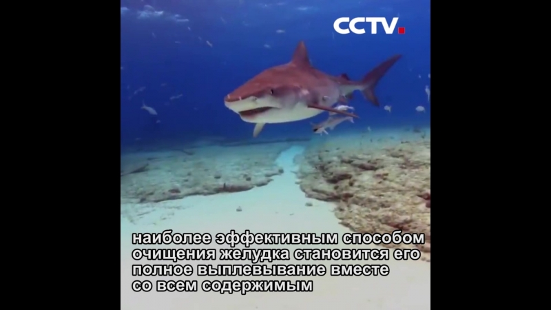 Акулы могут выплевывать свой желудок