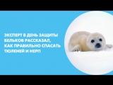 Эксперт в День защиты бельков рассказал, как правильно спасать тюленей и нерп