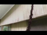 Муравьи рашат осиное гнездо