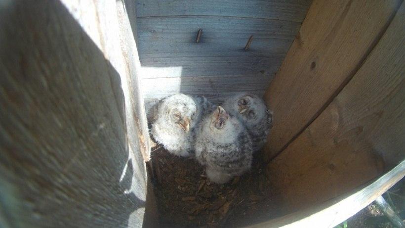 В Подмосковье в искусственных гнездовьях поселились редкие неясыти
