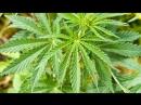 КОНОПЛЯ! Как за ней ухаживать и выращивать? Какой сорт лучше для курения?