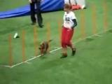 аджилити WC HELSINKI 2008 Tiina Jurjo & CEDRIC welsh terrier