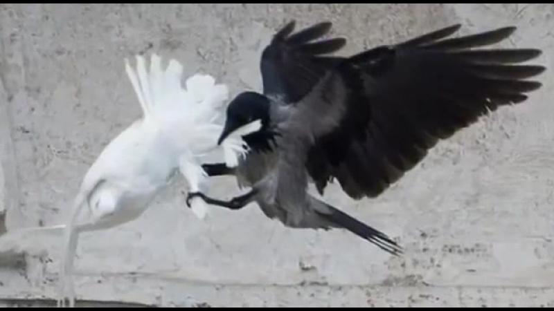 Ворон и чайка заклевали голубей мира, выпущенных Папой Римским после молитвы за