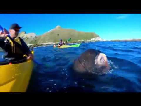 Тюлень отвесил туристу пощечину телом осьминога((Южный остров, Новой Зеландия)