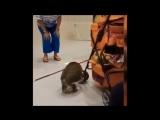 Кот, который лишился передних лап, живёт полноценной жизнью. Кошка - кенгуру.mp4