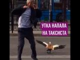 Утка напала на таксиста в Москве