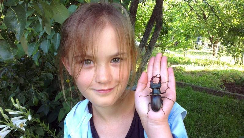 Жук олень (жук рогач) / lucanus cervus / stag beetle