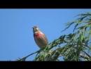 Пение птиц в природе.Коноплянка