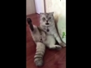 Реакция кота на свою кастрацию 'Где мои яйца!'.mp4