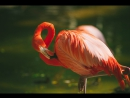 (Hilarious) Andean flamingo mating dance - NATURE - Andes- The Dragons Back