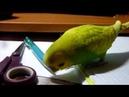 ВОСКРЕСНОЕ УТРО ВОЛНИСТОГО ПОПУГАЯ ТОШИ Веселый попугай зеленый попугайчик TV