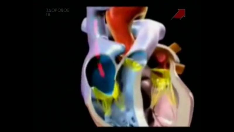 Тело человека. Сердечно-сосудистая система