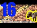 16 Какая картошка в 2108 году У нас родились породистые КОЗЛЫ